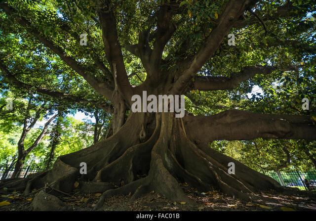 Ficus Elastica Stock Photos & Ficus Elastica Stock Images
