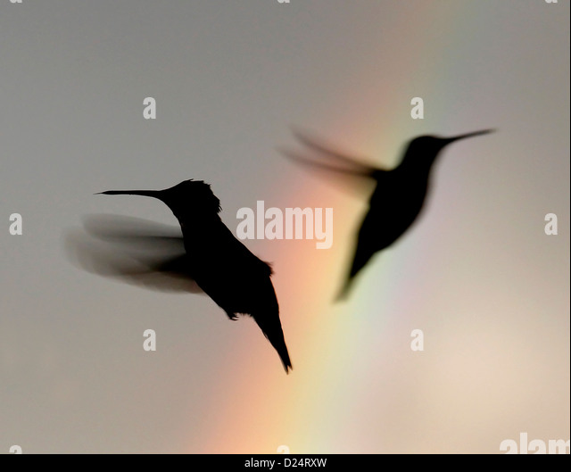 Ruby throated hummingbird flying past rainbow bird Ohio - Stock-Bilder