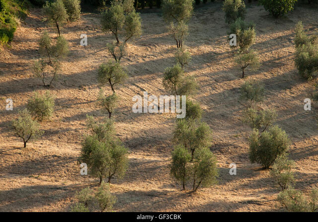 A grove of Olive trees reflected in the shadows of the late afternoon light in Orvieto, Italy. - Stock Image