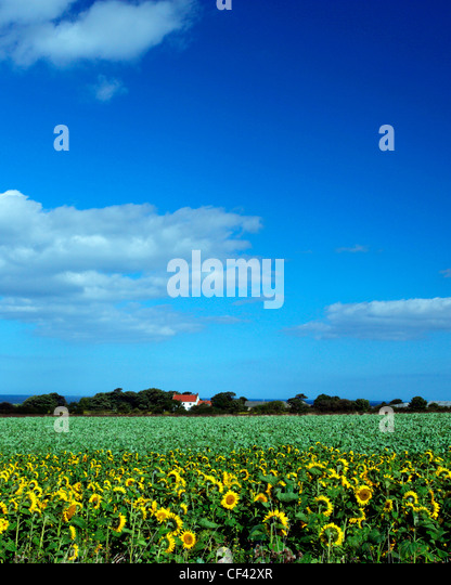 View across a field of sunflowers towards an isolated cottage on the North Yorkshire Coast. - Stock Image