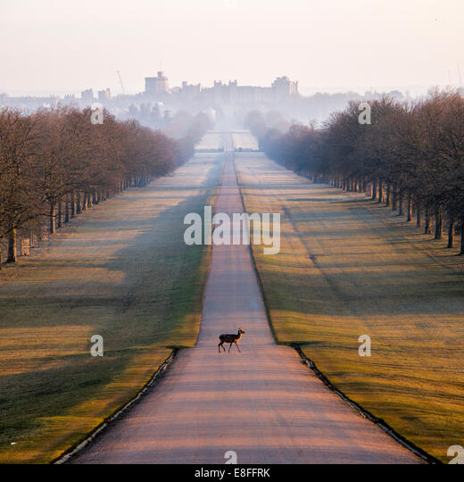 UK, Windsor, Deer in Windsor Great Park - Stock Image