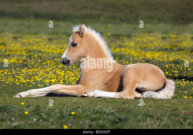 Horse Lying Down Stock Photos & Horse Lying Down Stock Images - Alamy