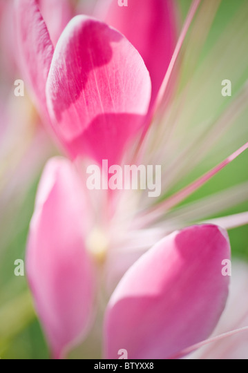 Close-up of pink Spring flowers. - Stock Image