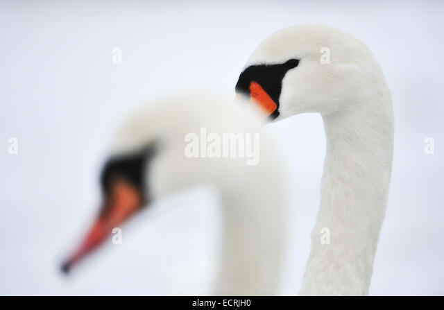 Close up of a pair of swans - Stock Image