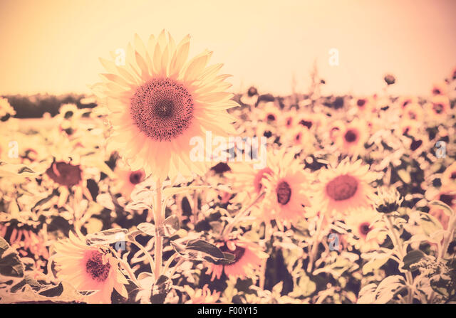 Retro sepia toned nature background made of sunflowers. - Stock Image