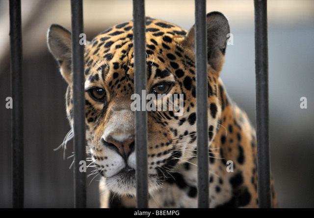 Caged Leopard in Beijing Zoo. - Stock Image