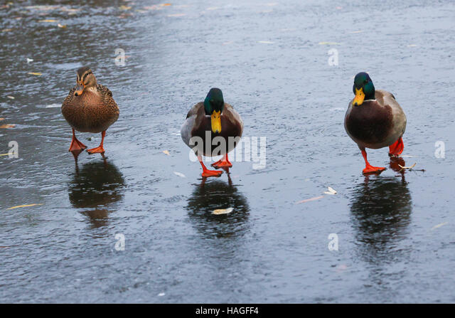 North London, UK. 1st Dec 2016. Ducks waddle awkwardly on a frozen pond at Finsbury Park, North London following - Stock Image