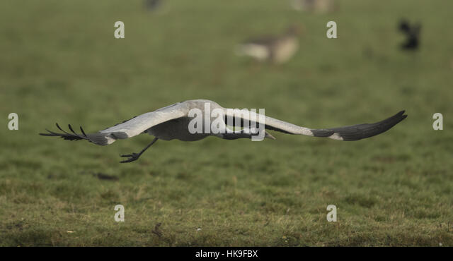 Common Crane,Grus grus, adult taking off, Slimbridge, Glocs, UK - Stock-Bilder
