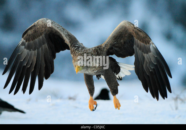 White-tailed eagle in winter,  co Trøndelag, Norway - Stock Image