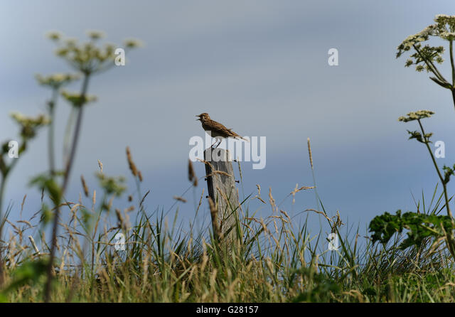bird singing from top of wooden fence post in field of  long grass - Stock Image
