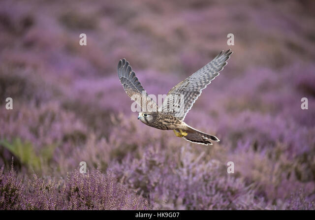Common Kestrel (Falco tinnunculus) immature, flying over flowering heather, Suffolk, England, August, controlled - Stock-Bilder