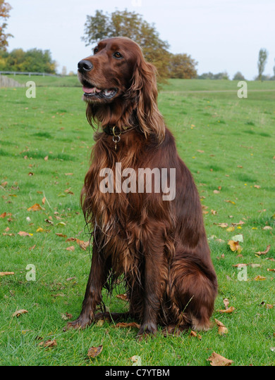 An English  red setter sitting on the grass - Stock Image