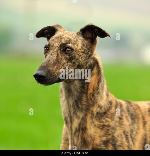 Greyhound Lurcher Stock Photos amp Greyhound Lurcher Stock  : lurcher hahd38 from www.alamy.com size 520 x 540 jpeg 37kB