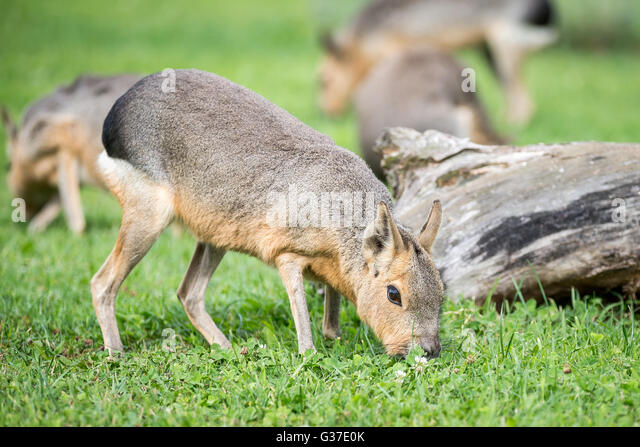 A Patagonian Cavy (Mara) pictured on pasture. - Stock Image