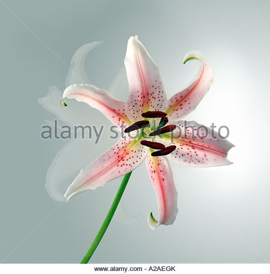Pink and white orchid flower,close-up shot. - Stock Image