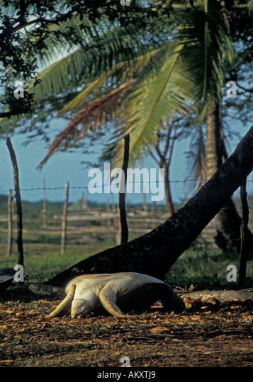 Nicaragua Miskito Coast Sandy Bay Indian village green sea turtle upside down on back being saved for food - Stock Image