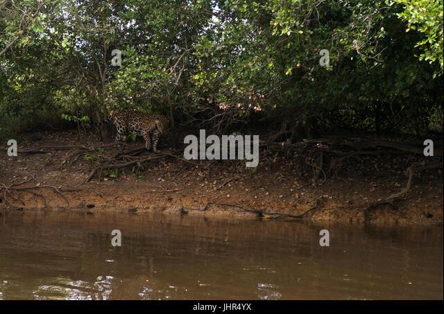 A Jaguar stalking the shorelines of a Pantanal river - Stock Image