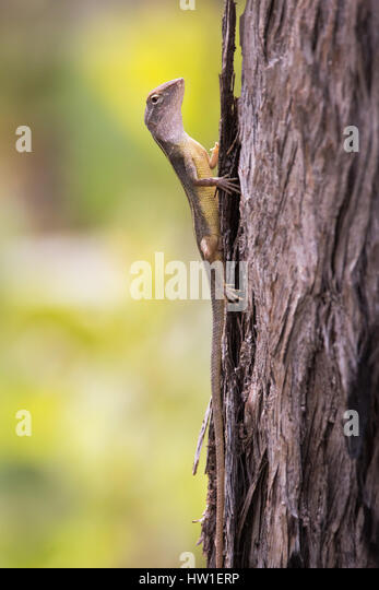 Yellow-sided Two-lined Dragon (Dipiriphora magna) - Stock-Bilder