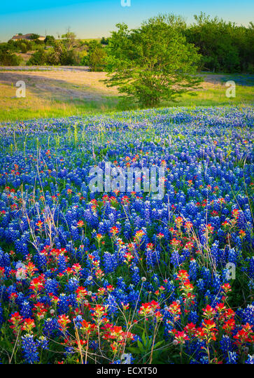 Texas paintbrush and bluebonnets in Ennis, Texas. Lupinus texensis, Texas bluebonnet, is a species of lupine endemic - Stock-Bilder