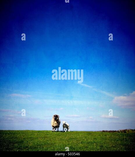 Sheep and lamb against blue sky - Stock Image