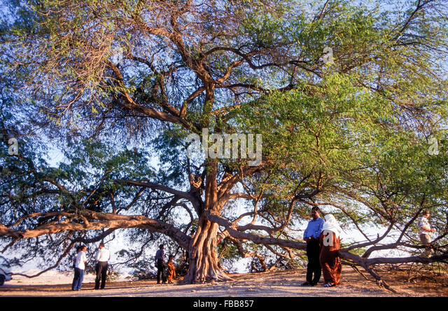 Bahrain's 400-year-old Tree of Life is a solitary desert acacia or mesquite fed by underground springs - Stock Image