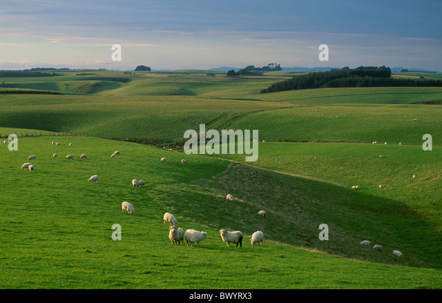 agriculture deforestation environment fields grass herd New Zealand pastures near furr rose sheep sheep he - Stock Image