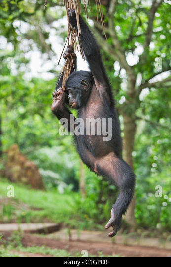 Bonobo Chimpanzee at the Sanctuary Lola Ya Bonobo, Democratic Republic of the Congo - Stock-Bilder