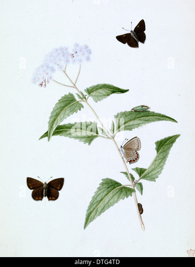 Papilio, little brown butterfly - Stock Image