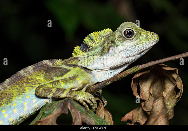 Adult male Great Anglehead Lizard (Gonocephalus grandis) resting during the night on a tree in a Malaysian tropical - Stock-Bilder