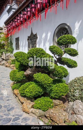 140 year old Hinoki cypress / hinoki false cypress / dwarf hinoki cypress bonsai tree Chamaecyparis obtusa Nana - Stock Image