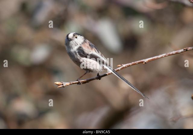 Long-tailed tit, Aegithalos longicaudus - Stock Image