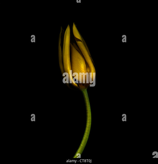 Tulipa 'Yokohama', Tulip - Stock Image