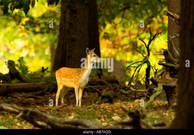 Fallow Deer (Dama dama) in sunlit woodland glade Richmond park - Stock Image