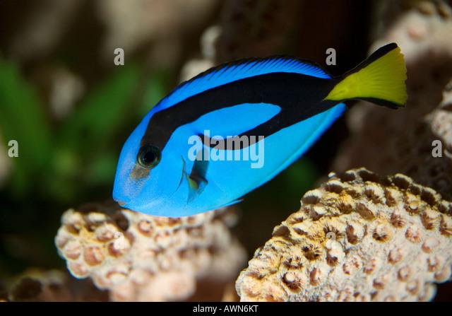 Royal Tang; Paracanthus hepatus - Stock-Bilder