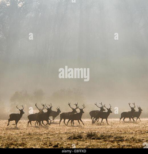 UK, Herd of deer - Stock Image