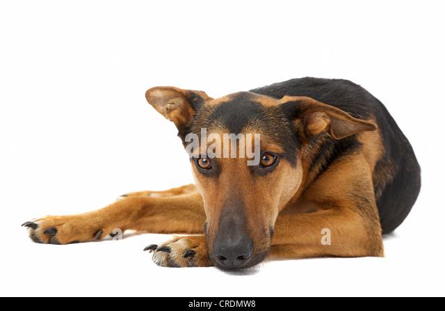 Shepherd mix lying - Stock Image