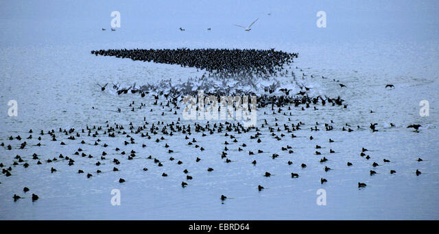 black coot (Fulica atra), flock on a lake, flying up, Germany - Stock Image