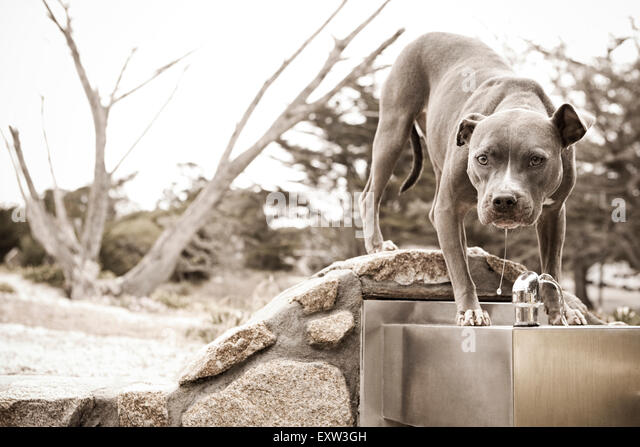 Adult Blue Pitbull drinks from water fountain - Stock Image