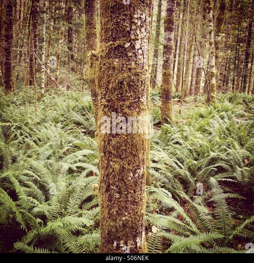 Tree grows in a sea of sword ferns, Vancouver Island, BC. Canada - Stock Image