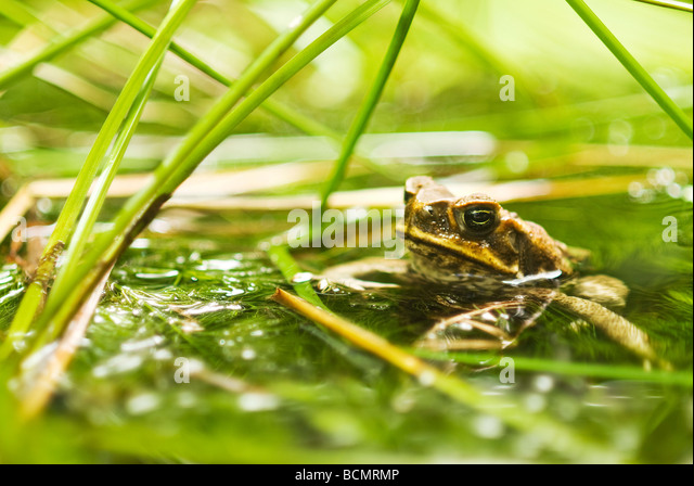 Close-up of Cane Toad in water reeds - Stock Image
