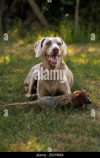 Weimaraner lying on a meadow with a pheasant dummy at the front - Stock Image