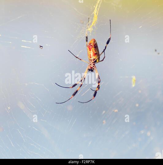 Banana Spider on Its Web in Florida Wetlands - Stock-Bilder