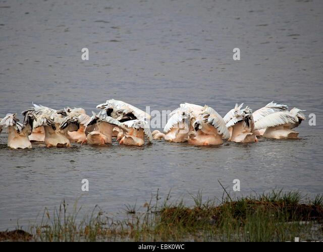 eastern white pelican (Pelecanus onocrotalus), swimming group dabbling together, Kenya, Lake Nakuru National Park - Stock Image