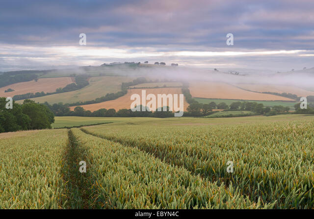 Wheat field and rolling countryside at dawn, Devon, England. Summer (July) 2014. - Stock Image