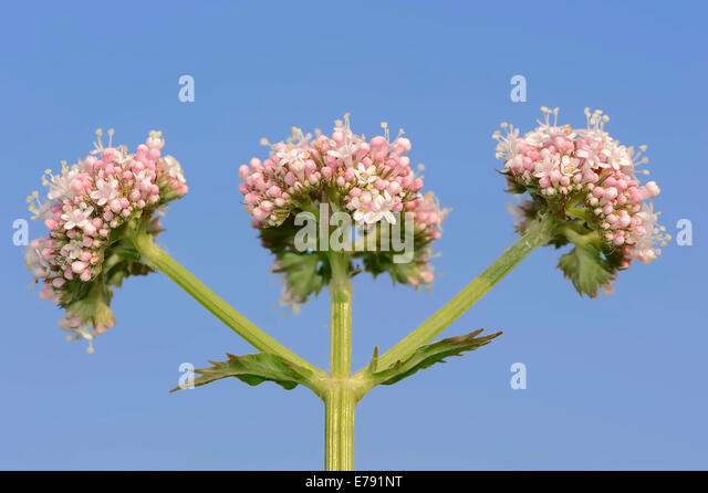 Valerian (Valeriana officinalis), North Rhine-Westphalia, Germany - Stock Image