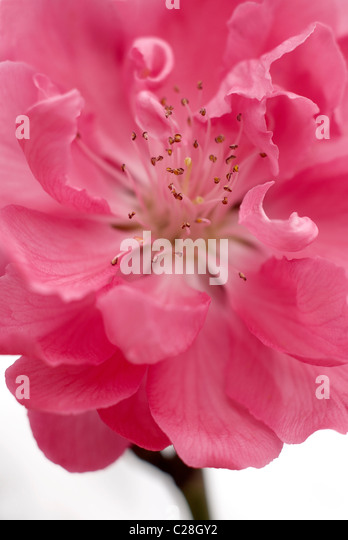 Ornamental peach blossom - Stock Image