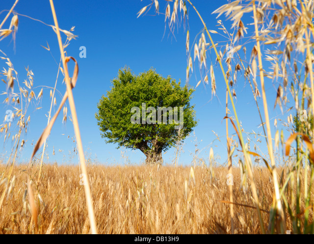 Almond tree, Provence - France - Stock Image