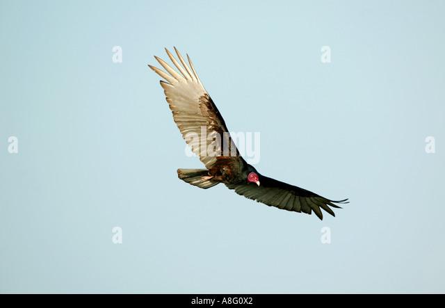 A Turkey vulture soars the sky in a majestic flight over Soberania national park, Republic of Panama. - Stock Image
