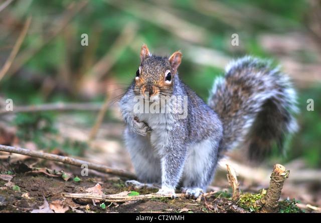 grey squirrel sciurus carolinensis rodent - Stock Image