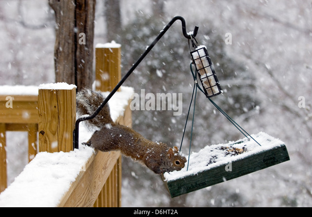 Eastern Gray Squirrel Eating Black Oil Sunflower Seed from Bird Feeder in Southern Indiana - Stock Image